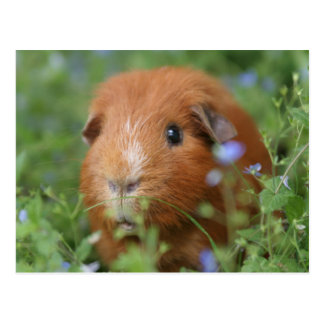 Niedliches cuddly Ingwermeerschweinchen draußen Postkarte