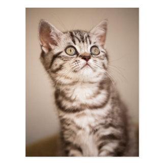 Niedliches graues britisches kurzes Haar-Kätzchen Postkarten