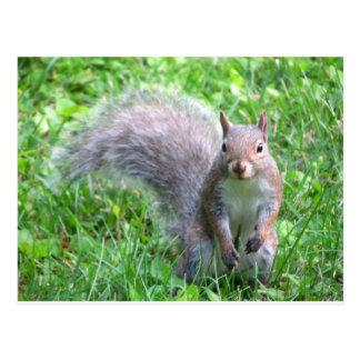 Niedliches graues Eichhörnchen Postkarte