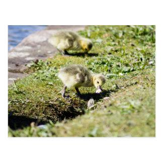 Niedliches Kanada Gosling Postkarte