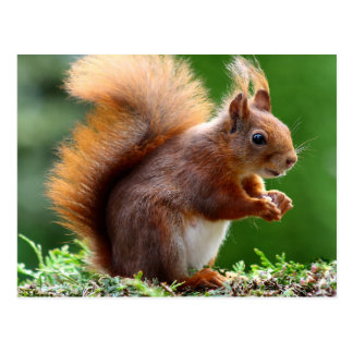 Niedliches orange Eichhörnchen Postkarte