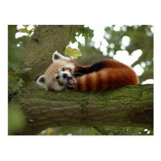 Niedliches roter Panda-Bärn-Natur-Schicksal Postkarte
