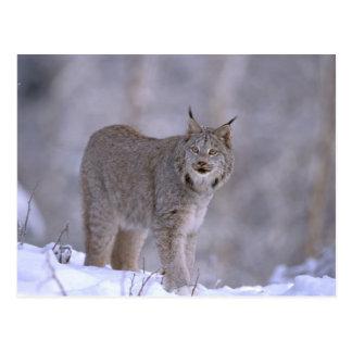 Nordamerika, USA, Alaska, Haines. Luchs (Felis Postkarte
