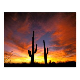 Nordamerika, USA, Arizona, Sonoran Wüste Postkarte