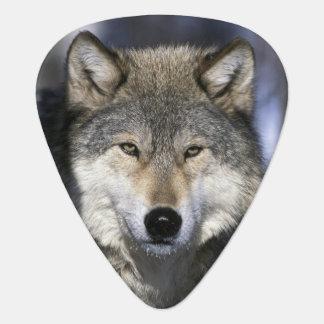 Nordamerika, USA, Minnesota. WolfCanis Plektrum