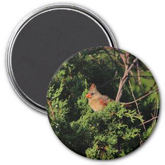 NordKardinal im Zedernbaum Runder Magnet 7,6 Cm