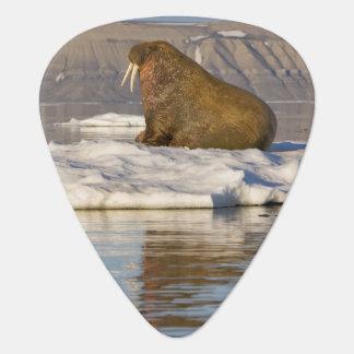 Norwegen, Svalbard, Edgeoya Insel, Walroß Plektron