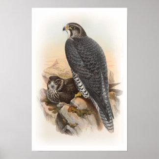 Norwegische Vögel Falke-Johns Gould von Poster