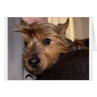 Norwich-Terrier chillin.png Karte