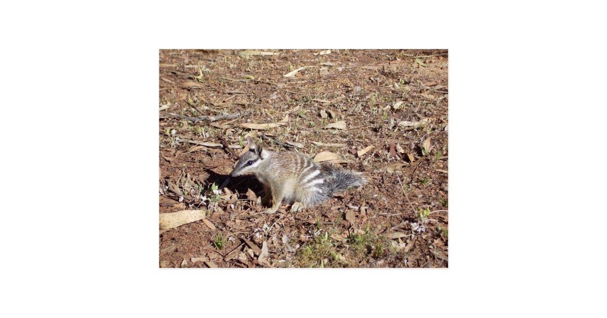 Numbat das auf boden in the sun sitzt postkarte zazzle for Boden geschenkgutschein