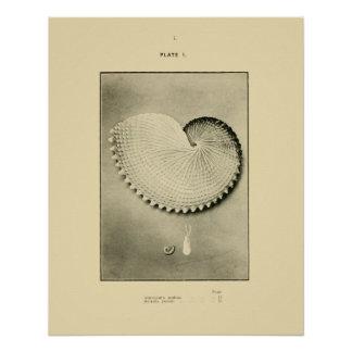 NZ Muscheln - Argonauta nodosa und Spirula Peroni Poster