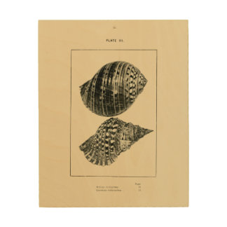 NZ Muscheln - Dolium variegatum, Lotorium Holzwanddeko