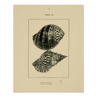 NZ Muscheln - Dolium variegatum, Lotorium Poster