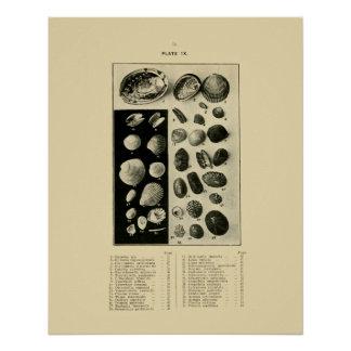 NZ Muscheln - Paua etc. Poster