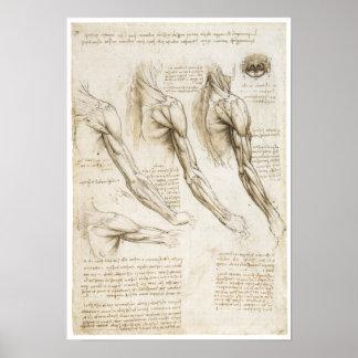 Oberflächliche Muskeln der oberen Extremität Poster