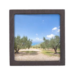 Obstgarten mit Olivenbäumen in Meer in Schachtel