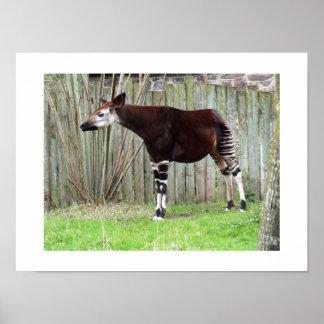 Okapi, der einen Zaun bereitsteht Plakatdrucke