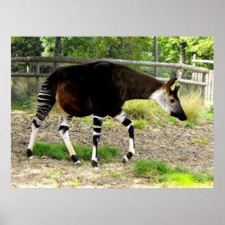 Okapi Posterdrucke