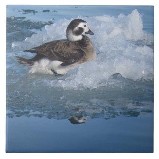 Oldsquaw band lang Ente auf Eis im Ozean an Fliese