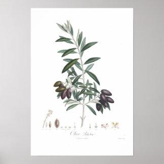 Olive, Olea europaea Poster