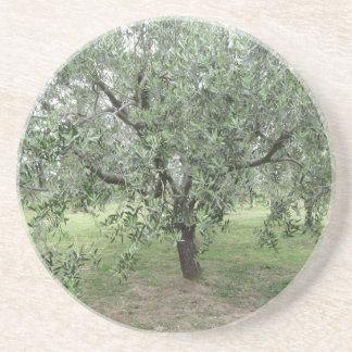 Olivenbaum im Garten. Toskana, Italien Getränkeuntersetzer