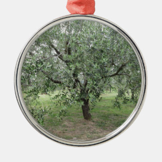 Olivenbaum im Garten. Toskana, Italien Silbernes Ornament