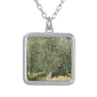 Olivenbäume an einem sonnigen Tag. Toskana, Versilberte Kette