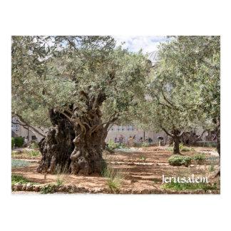 Olivenbäume in Gethsemane, Jerusalem, Israel Postkarte