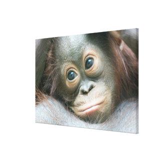 Orang-Utan Baby, das seiner Mutter anhaftet Leinwanddruck