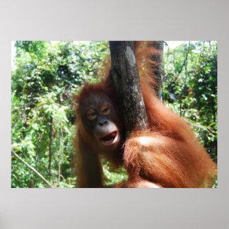 Orang-Utan Giebel-Borneo-Regenwald Poster
