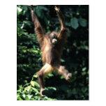 Orang utan in Borneo-Postkarte