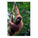 Orang-Utan in Sumatra-Regenwald Postkarten