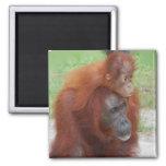 Orang-Utan Mutter und Baby auf Insel von Borneo Kühlschrankmagnete