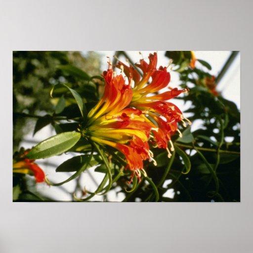 Orange Aeschynanthus Speciosus (Lippenstift-Pflanz Plakat