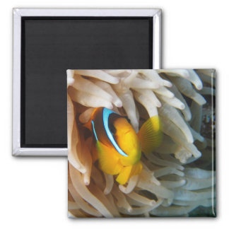 Orange Clown-Fische Quadratischer Magnet