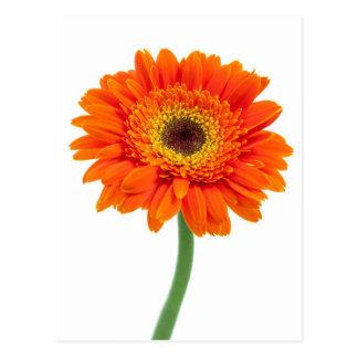 Orange Gerbera-Gänseblümchen-Blume Postkarte