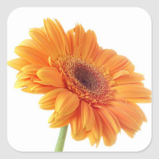 Orange Gerbera-Gänseblümchen-Blumenaufkleber Quadrat-Aufkleber