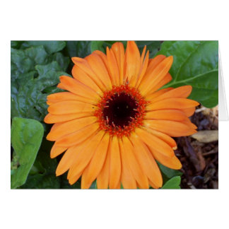 Orange Gerbera-Gänseblümchen notecard Karte