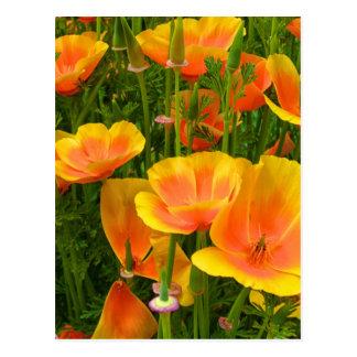 Orange Kalifornien-Mohnblumen/Kalifornischer Mohn Postkarten