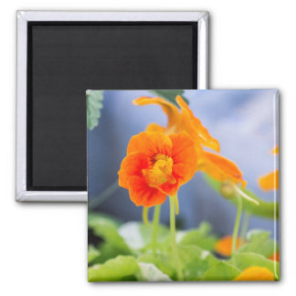 Orange Kapuzinerkäse-Magnet Quadratischer Magnet