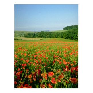 Orange landwirtschaftliches Mohnblumenfeld, Falmer Postkarte
