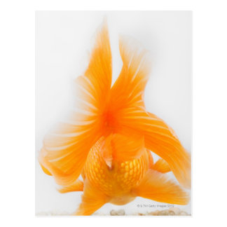 Orange lionhead Goldfisch (Carassius auratus) 2 Postkarte