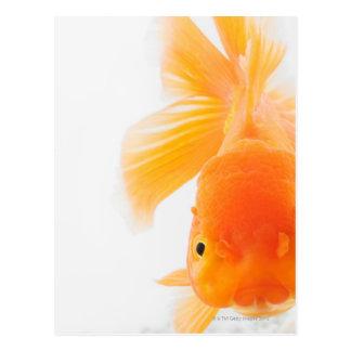 Orange lionhead Goldfisch (Carassius auratus) Postkarte