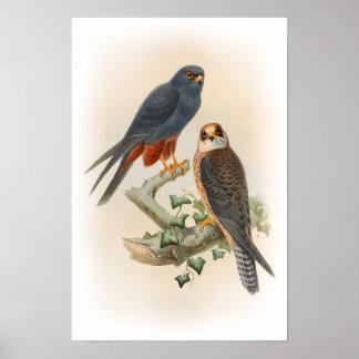 Orange-mit Beinen versehene Hobby-Falke Gould Poster