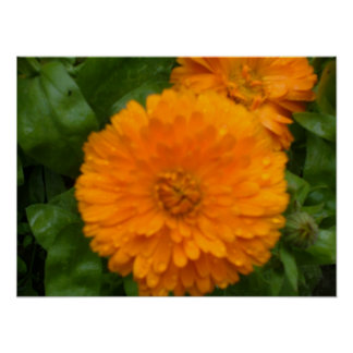 Orange Ringelblumen-Druck Poster