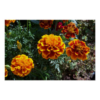 Orange Ringelblumen Poster