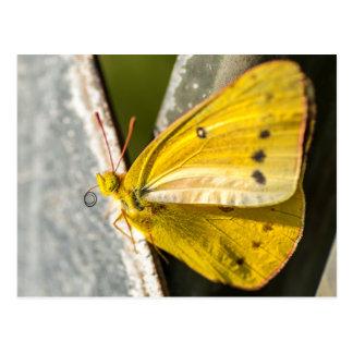 Orange Schwefel-Schmetterling Postkarte