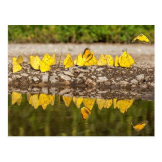 Orange Schwefel-Schmetterlinge Postkarte