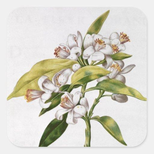 Orangenbaum-Blume, von 'La Guirlande de Julie' Stickers