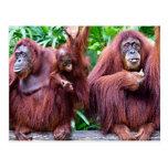 Orangutan from Singapore zoo Vykort